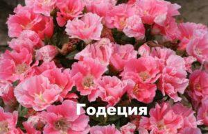 Розовая годеция