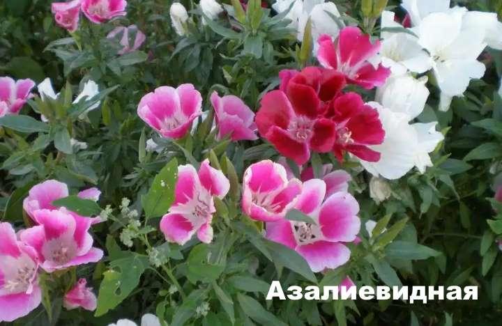 Вид растения - годеция азалиевидная