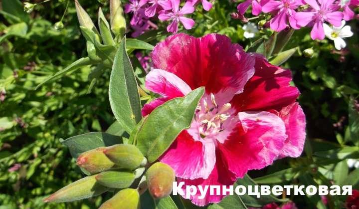 Вид растения - годеция крупноцветковая