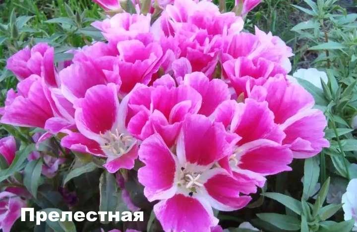 Вид растения - годеция прелестная