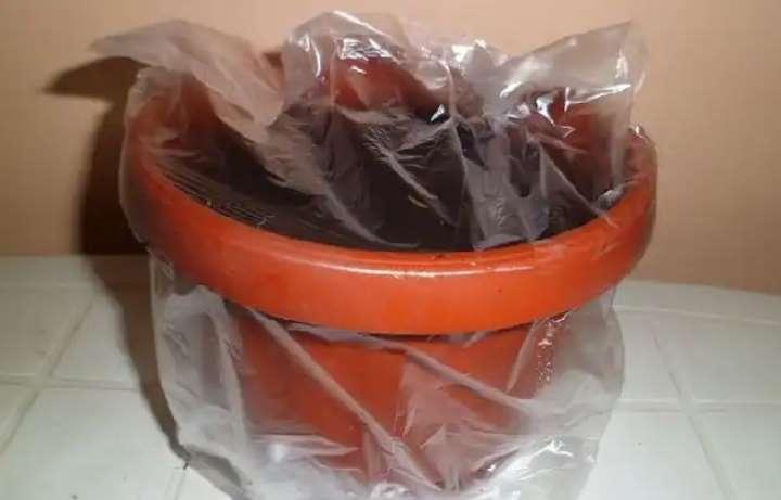 Семена кислицы под пакетом