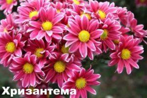 Растение - хризантема