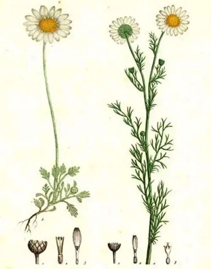 Строение хризантемы. Рисунок