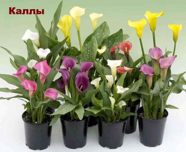 Экзотическое растение - каллы