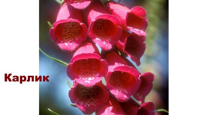 Вид наперстянки - карлик