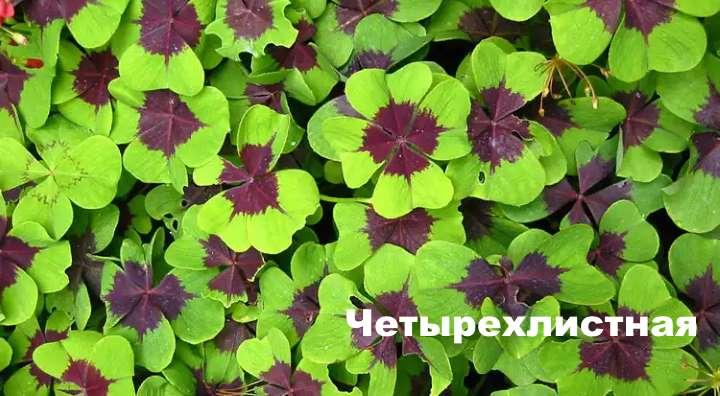 Вид растения - кислица четырехлистная