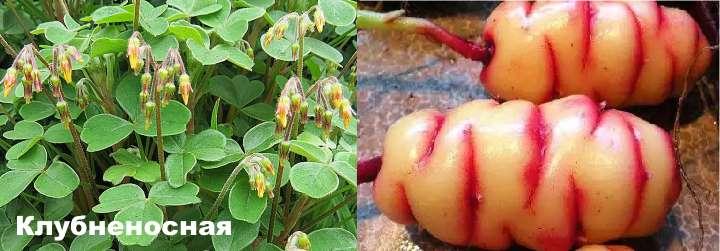 Вид растения - кислица клубненосная