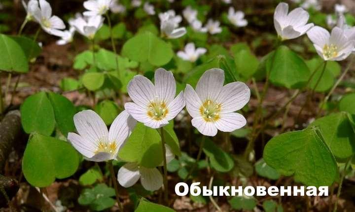 Вид растения - кислица обыкновенная