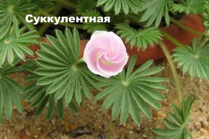 Вид растения - кислица суккулентная