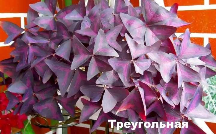 Вид растения - кислица треугольная