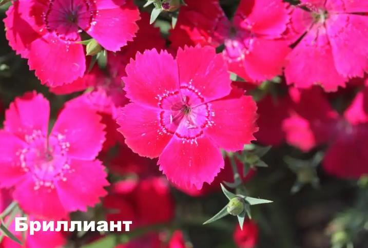 Вид растения - гвоздика Бриллиант