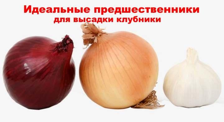 Луковичные для клубники