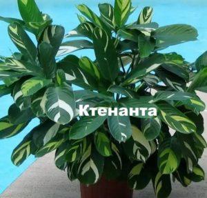 Растение ктенанта