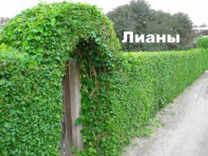 Забор покрыт лианой