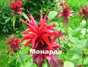 Растение - лимонная монарда