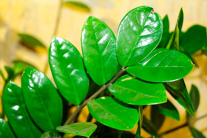 Лист цветка Замиокулькаса
