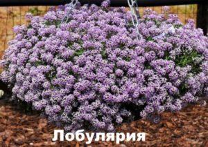 Растение лобулярия