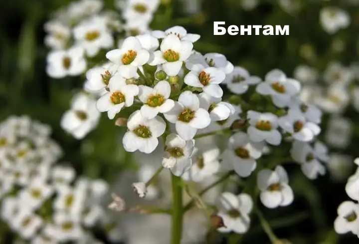 Вид растения - лобулярия Бентам