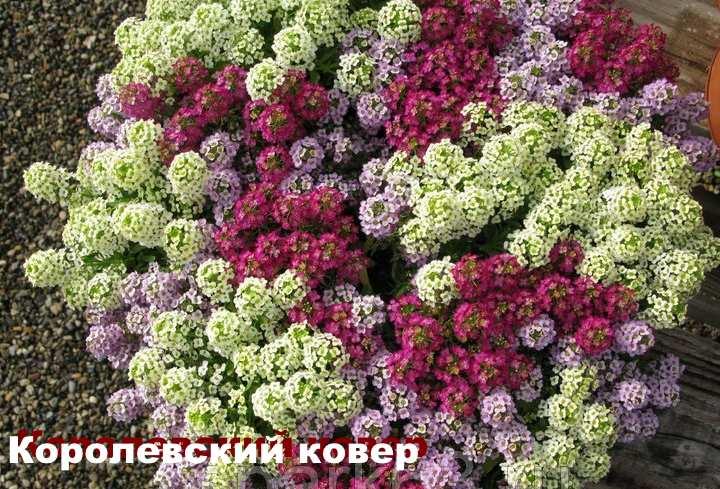 Вид растения - лобулярия Королевский ковер