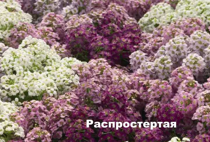 Вид растения - лобулярия Распростертая
