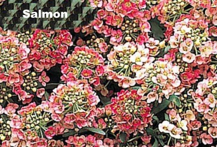 Вид растения - лобулярия Salmon
