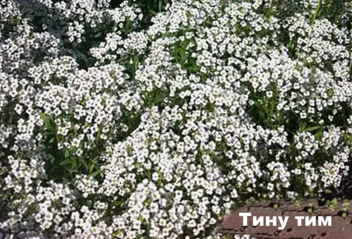 Вид растения - лобулярия Тину тим