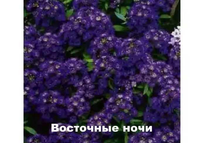 Вид растения - лобулярия Восточные ночи