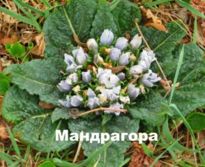 Растение мандрагора