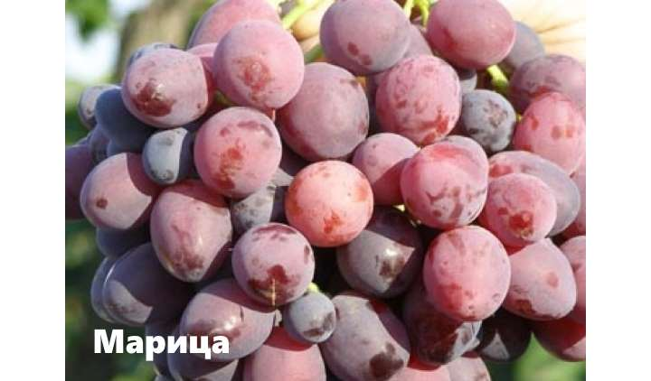 Виноград сорта марица