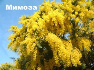 Растение мимоза