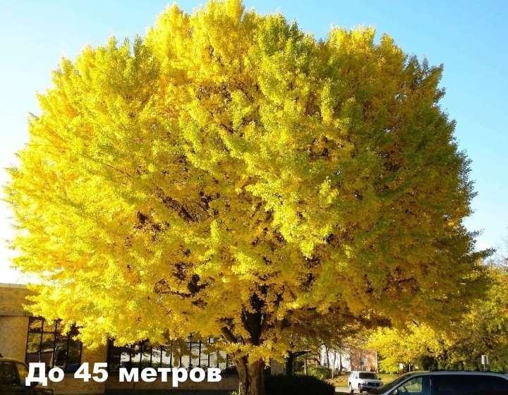 Высокое дерево мимозы