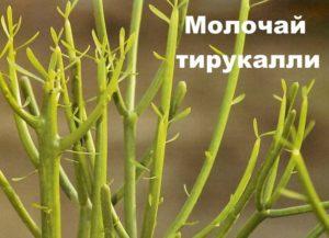 Растение молочай тирукалли