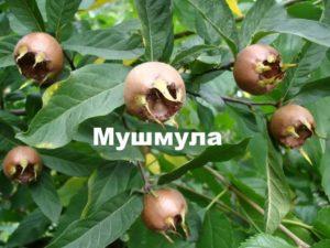 мушмула