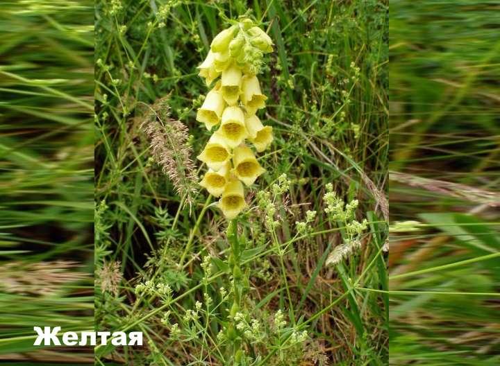 Вид растения - наперстянка желтая