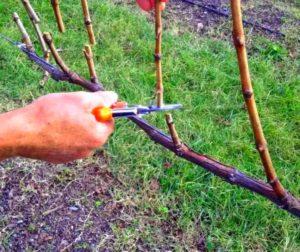 Осенняя обрезка куста