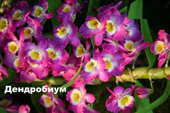 Экзотическое растение - орхидея дендробиум