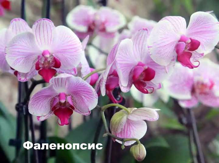 Экзотическое растение - орхидея фаленопсис