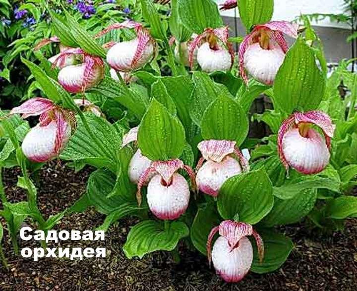 Экзотическое растение - орхидея садовая