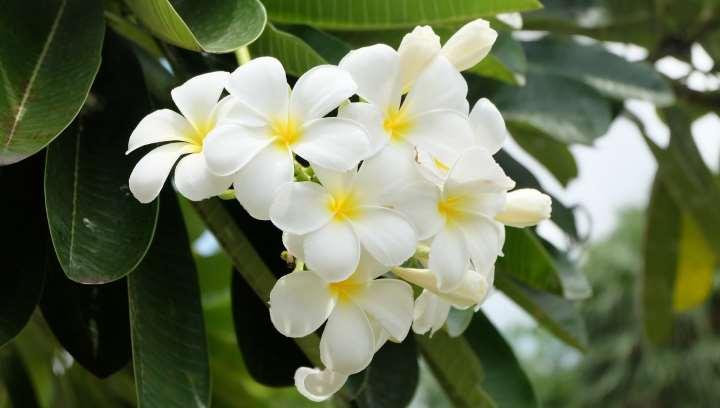 Вечнозеленый вид орхидеи