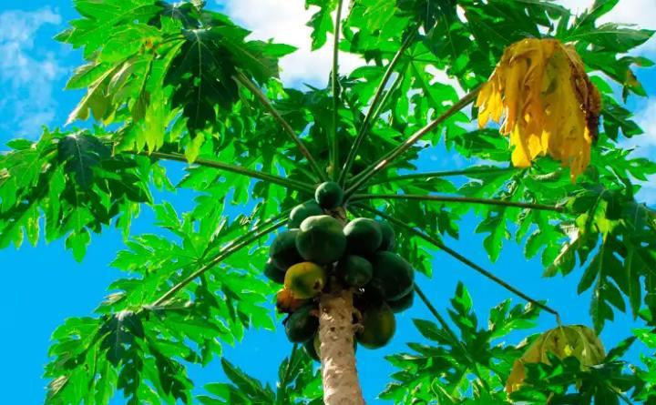 В природе папайя