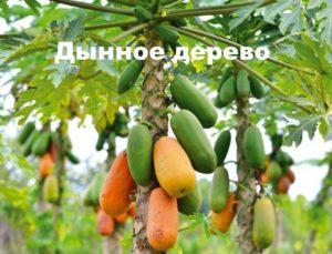 Дынное дерево