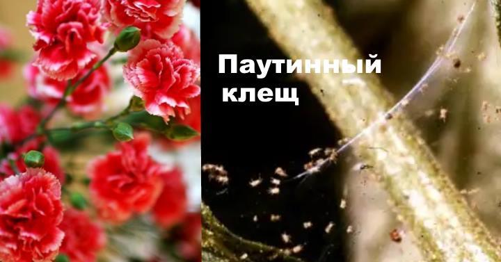 Болезни гвоздики - паутинный клещ