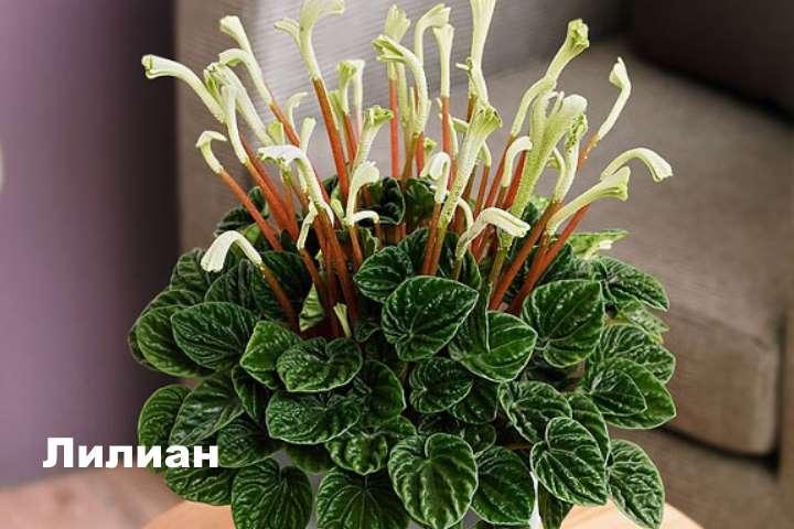 Вид растения - пеперомия Лилиан