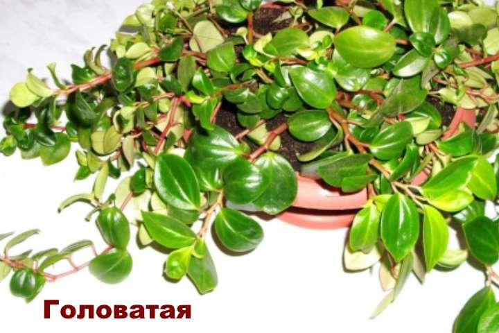 Вид растения - пеперомия головатая