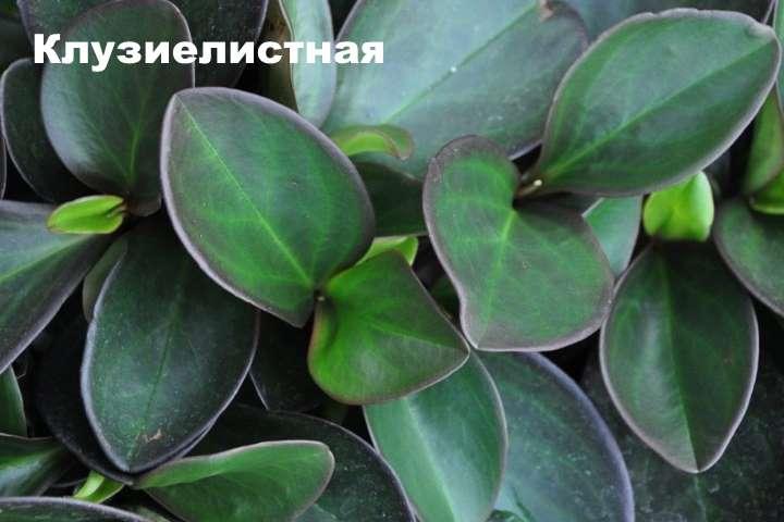 Вид растения - пеперомия клузиелистная