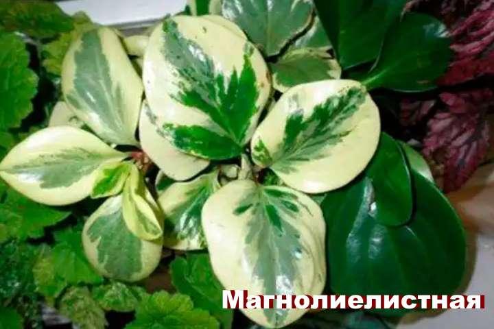 Вид растения - пеперомия магнолиелистная
