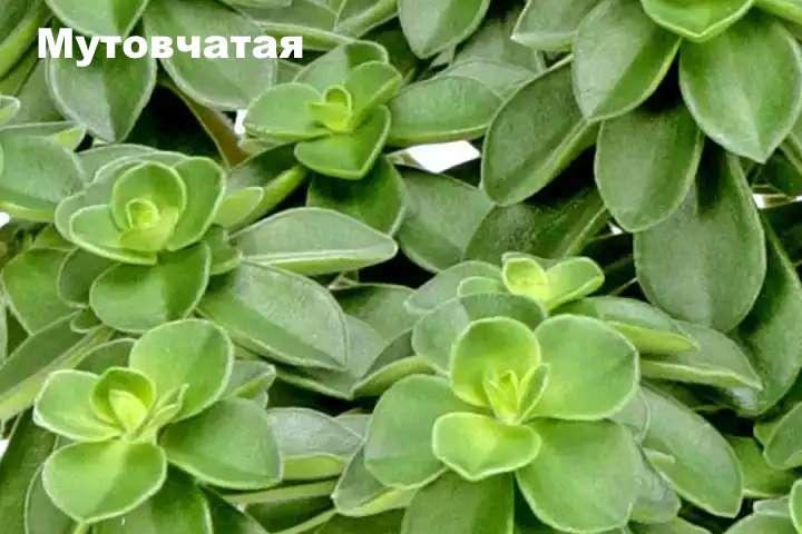 Вид растения - пеперомия мутовчатая