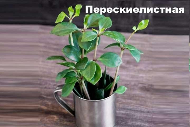 Вид растения - пеперомия перескиелистная