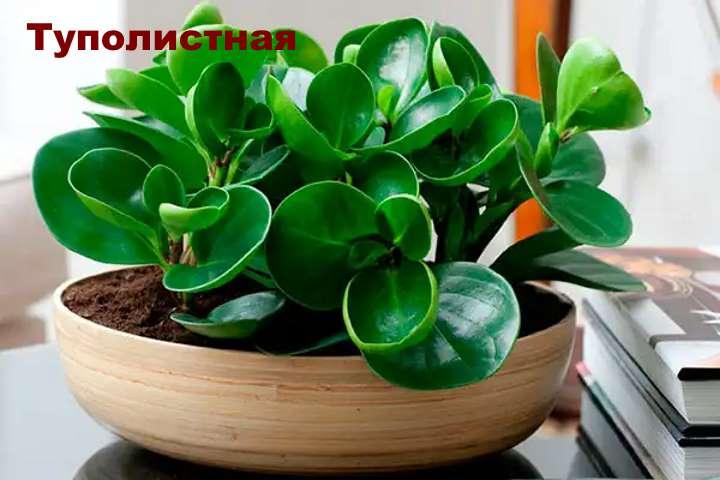 Вид растения - пеперомия туполистная