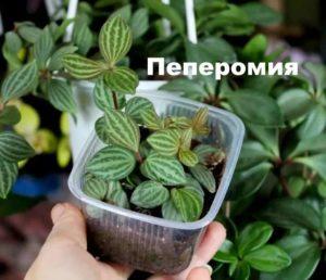 Вид растения пеперомия